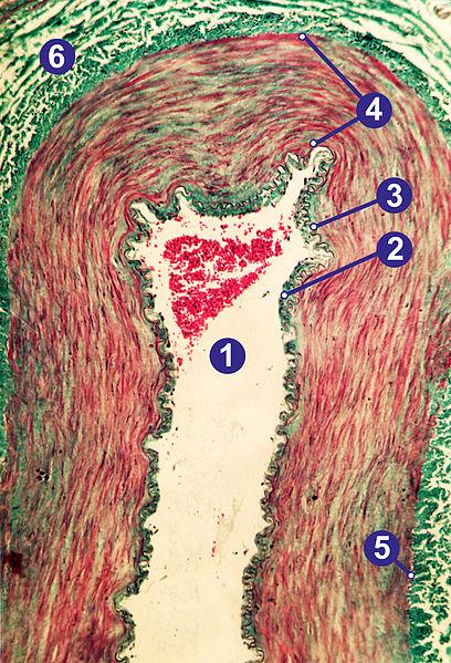 Querschnitt durch eine große menschliche Arterie. (Bild: Gleiberg)